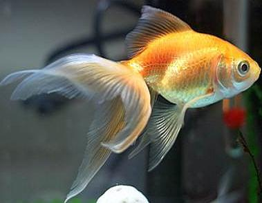 Fantail goldfish - photo#10