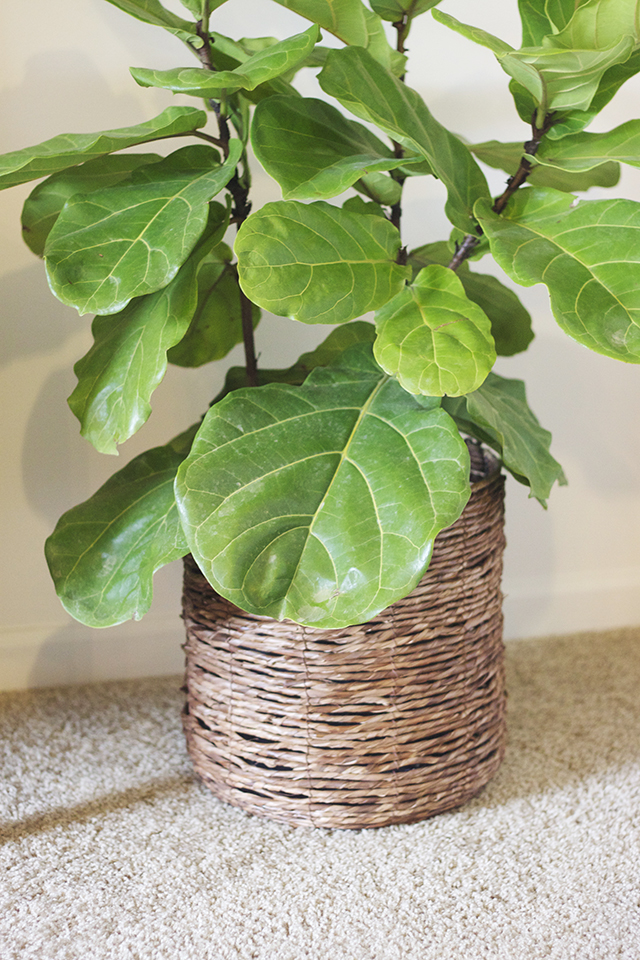 fiddle leaf plant, fiddle tree, ficus plant, house plant