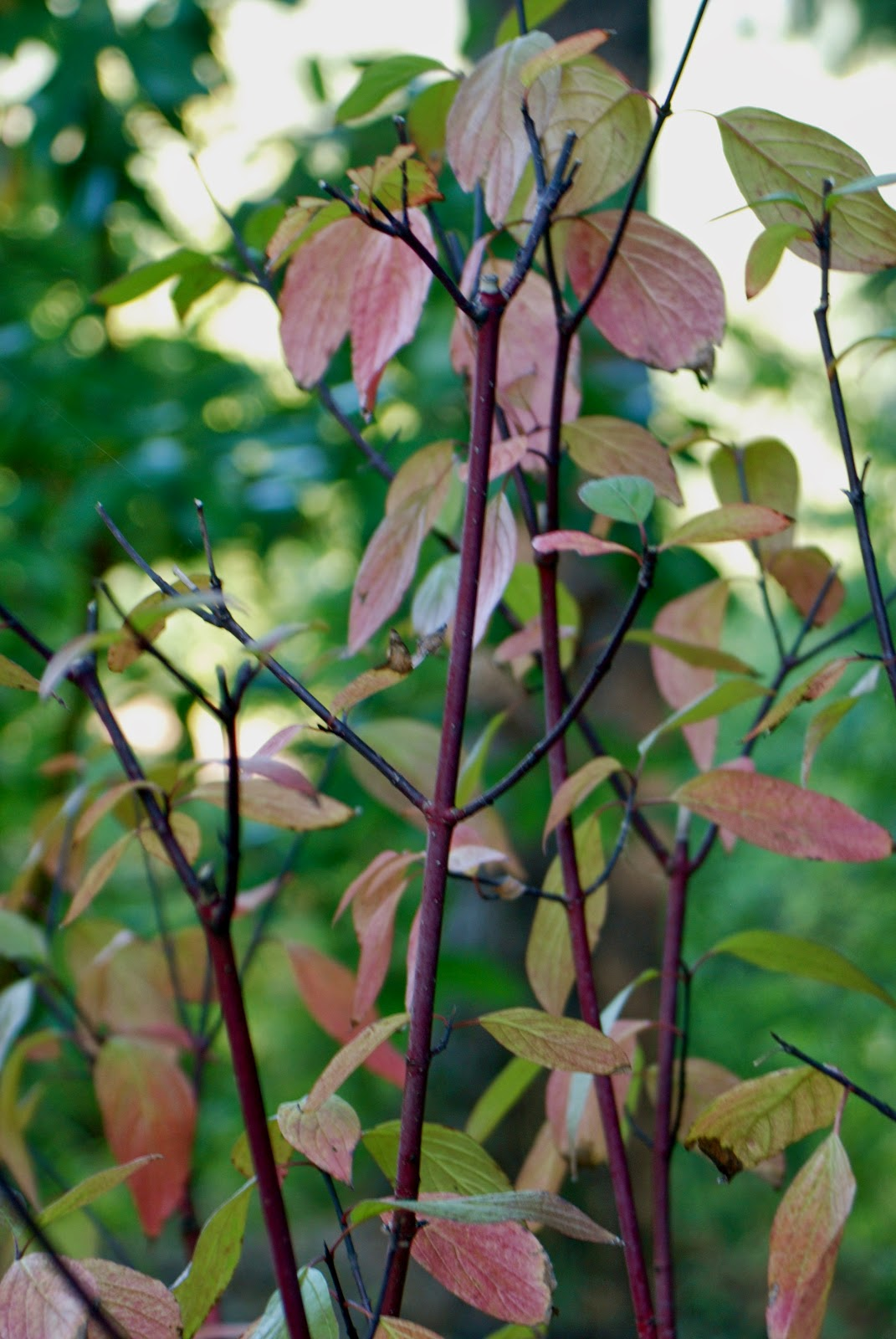Colorful Dogwood Twigs in Fall and Winter | The Aspiring Gardener