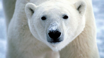 #13 Polar Bear Wallpaper