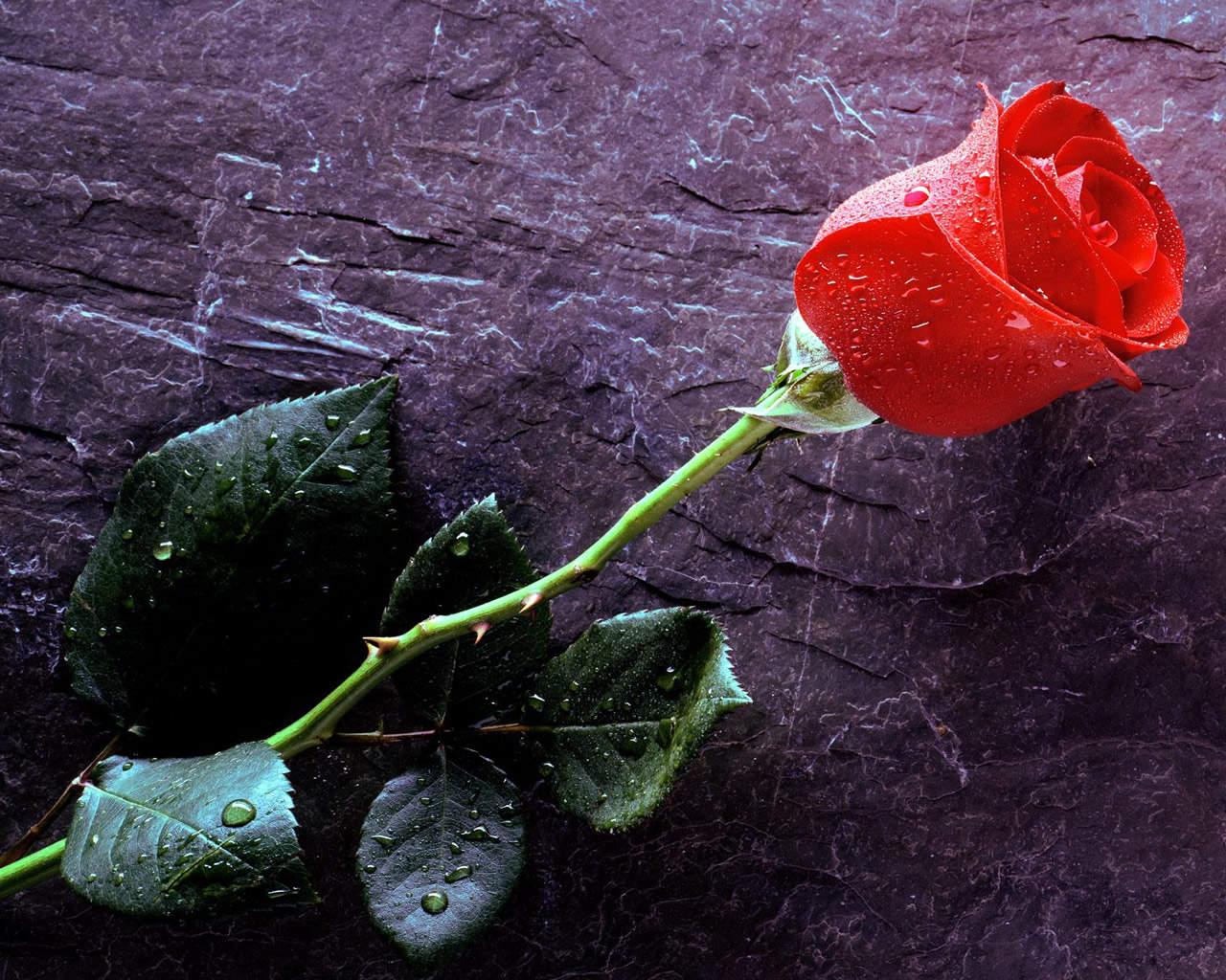 http://3.bp.blogspot.com/-_GoPRKDH-Y8/T1Q67P4YQoI/AAAAAAAAATw/r6g49EvPVeY/s1600/Rose%2BFlower%2BWallpaper.jpg