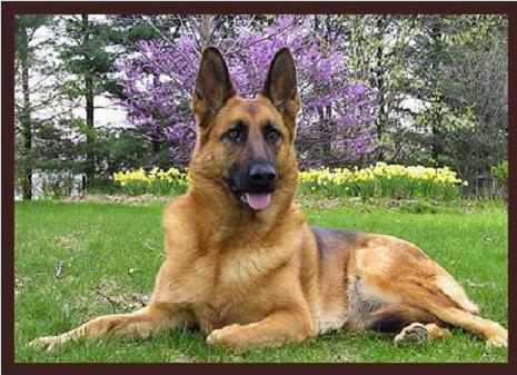 Las 13 Razas de perros más grandes del mundo