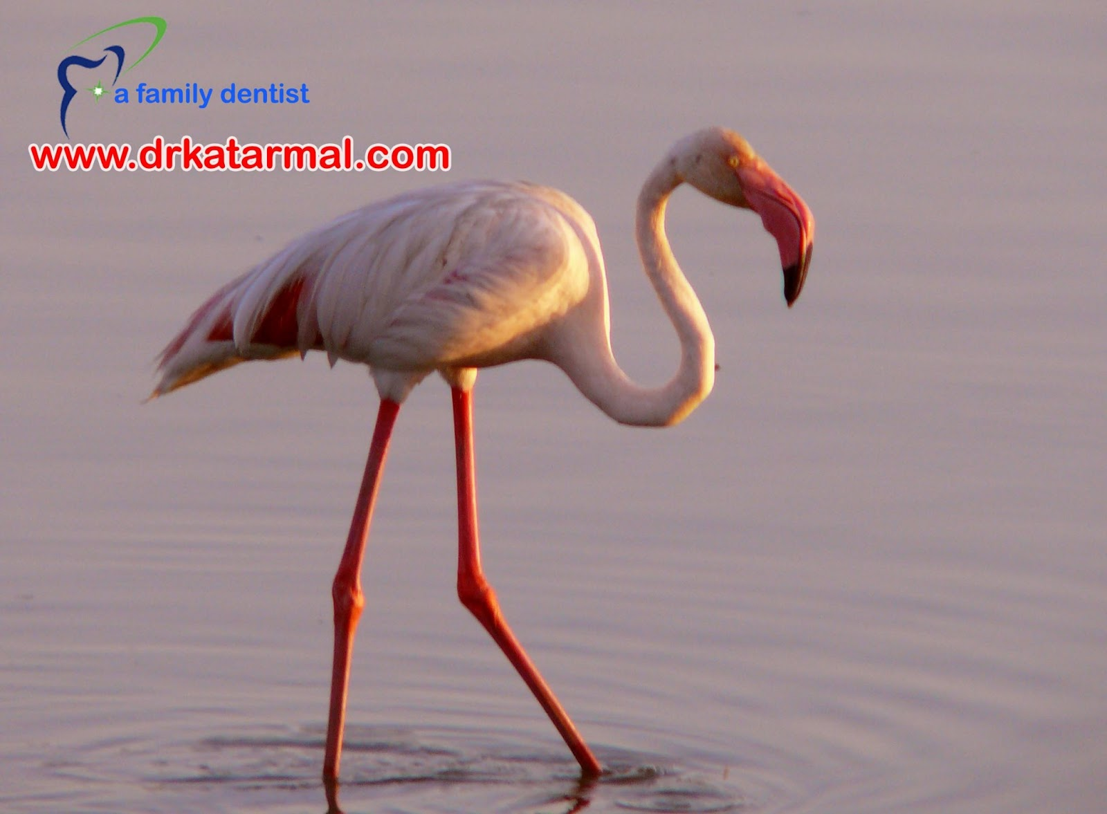 this is picture of greater flemingo, taken at khijadia bird centuary, heaven for birds at jamnagar