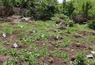 Asgjesohen 380 rrënjë canabis sativa në Vlorë