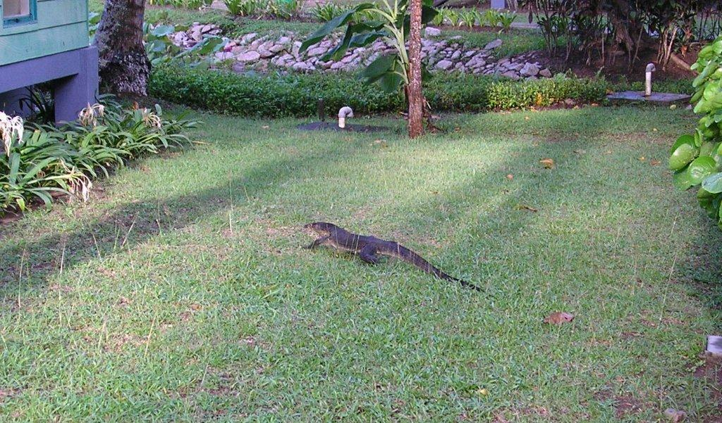 Some interesting wild life in the Nirwana Gardens area   plenty of these  monitors  birds  cute squirelly things. Tezza s Beaches and Islands  Bintan