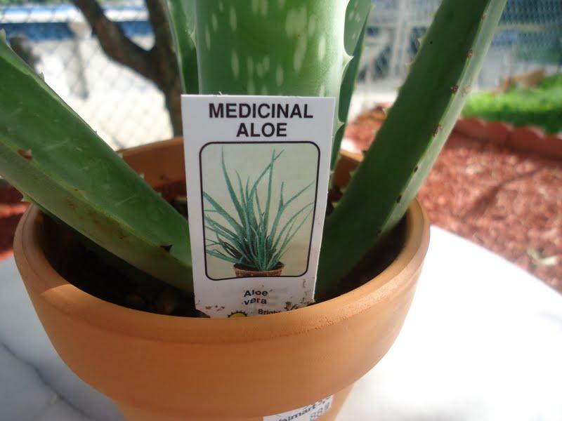 My aloe vera plant - Aloe vera plante utilisation ...
