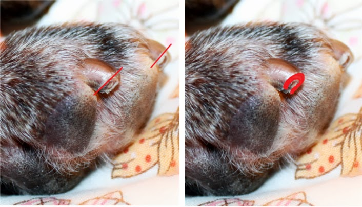 Dogs With Ears Cut Off Properly Cut a Dog's Nails