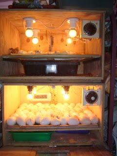 Panduan cara perawatan telur yang akan ditetaskan dengan mesin penetas
