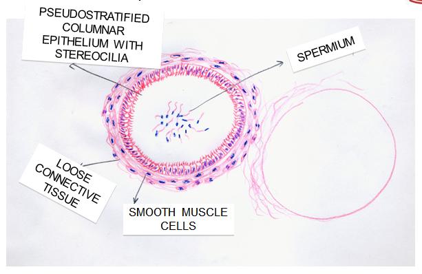 sperm hematoxylin eosin