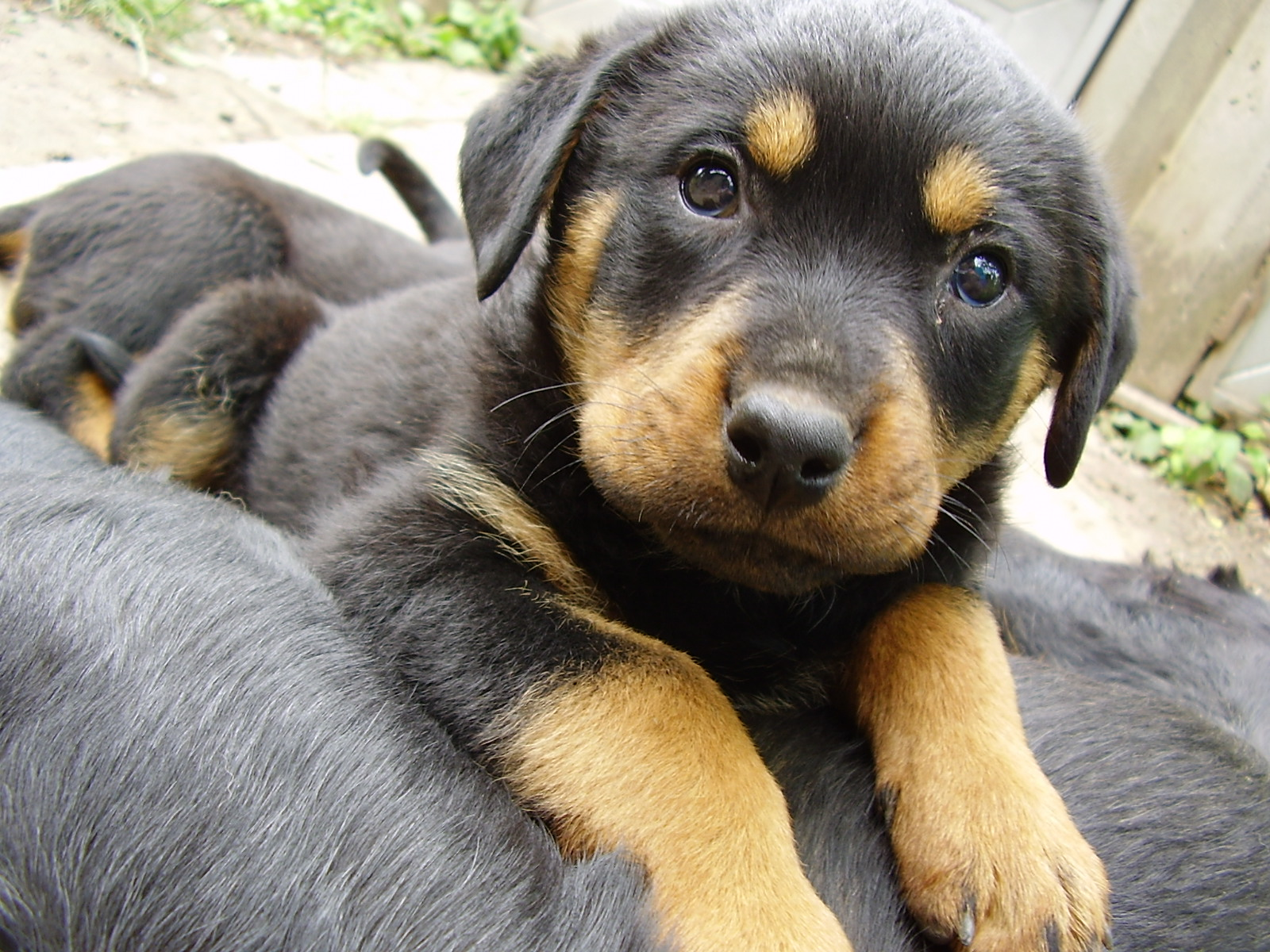 Dachshund German Shepherd Mix Puppies Dachshund mix