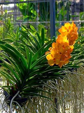 vanda with orange colors in a pot