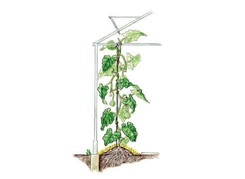 Если выращиваете в теплице,