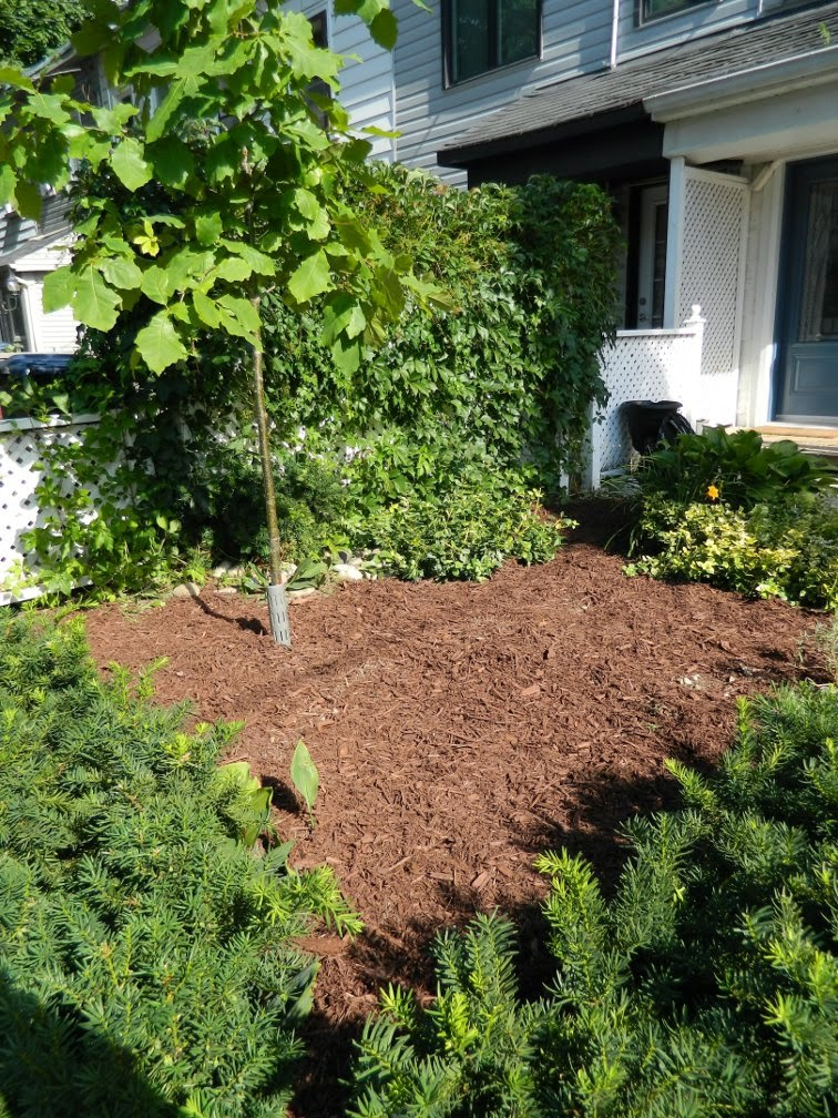 front yard  Leslieville garden cleanup after Paul Jung Gardening Services Toronto