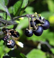 khasiat manfaat buah leunca buah ranti