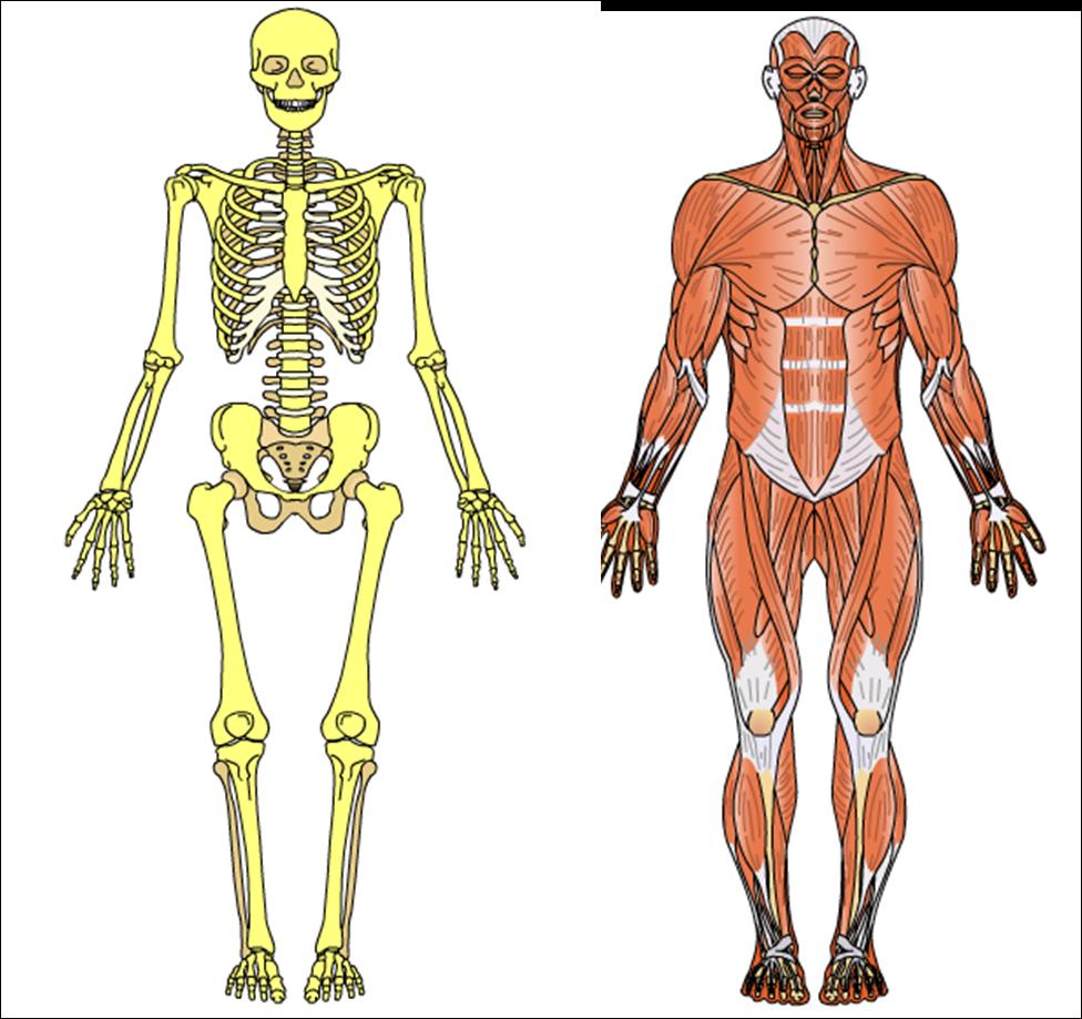 Somos del Octavio: El esqueleto y el sistema muscular