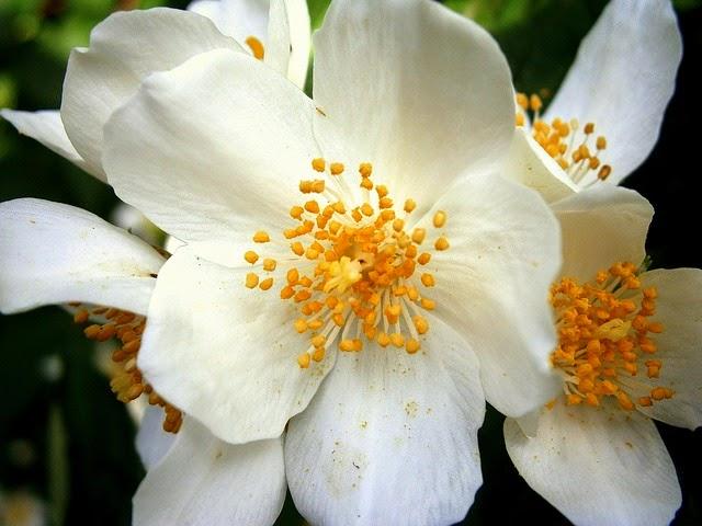 Manfaat Bunga dan Daun Melati