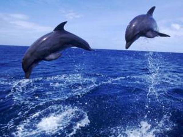 www.Primo.com: Dolphin.