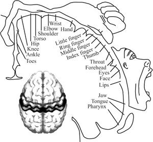 Brain Homunculus7