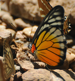 Red-spot Sawtooth (Prioneris philonome clemanthe)