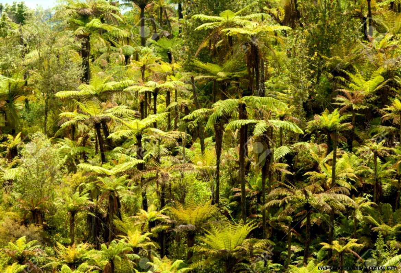 Grove Of Endemic New Zealand Rainforest Fern Trees In Lush Green