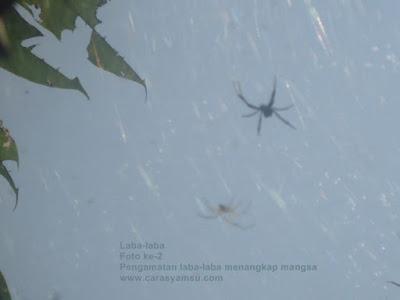 Gambar Laba-laba dan plungsungan