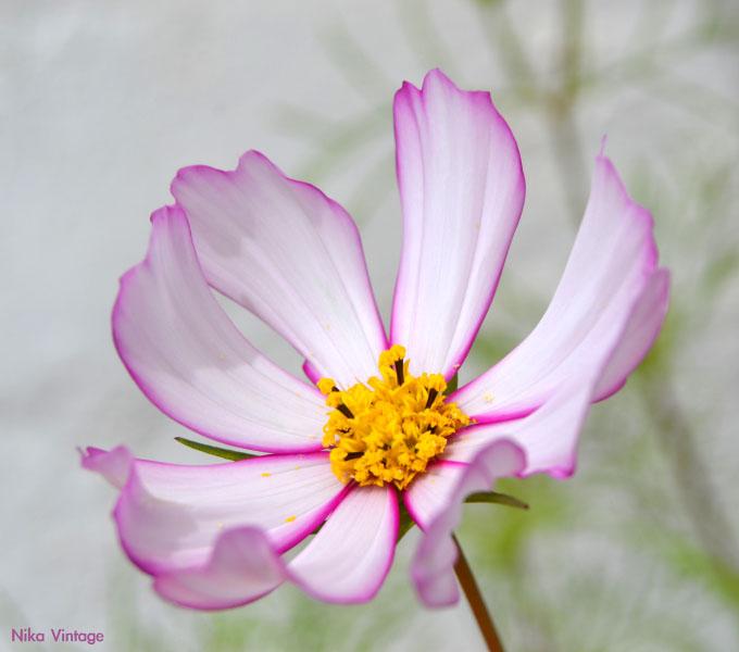 flor cosmos jardin verano fotografia