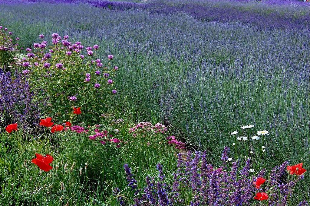 how to grow lavender garden tips english garden. Black Bedroom Furniture Sets. Home Design Ideas
