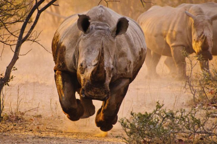 Rinocerontes correndo