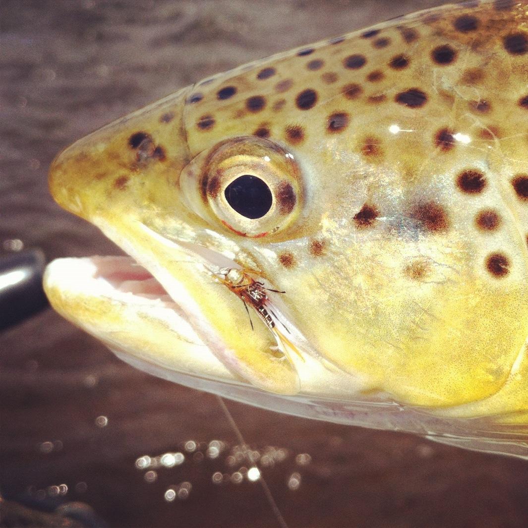 Evolution anglers favorite flies iron sally for Sally t fishing