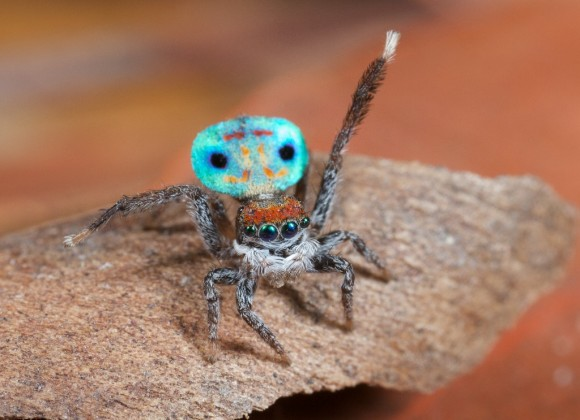 أجمل عناكب العالم العنكبوت الطاووس