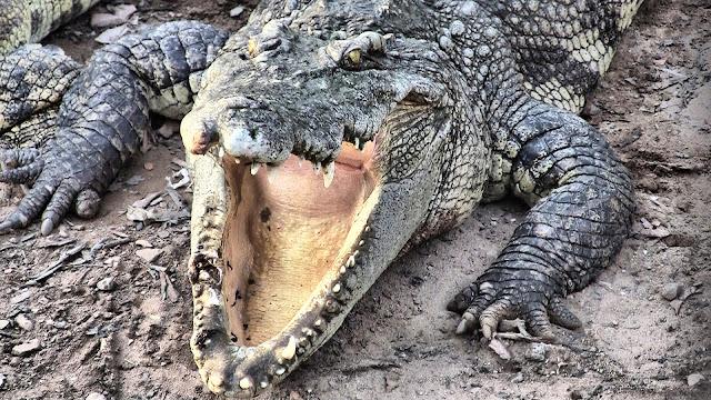 Crocodile de la ''ferme'' de Siem Reap. Un hybride indo-pacifique / Indochine.