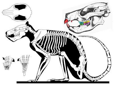 Plesiadapis skull