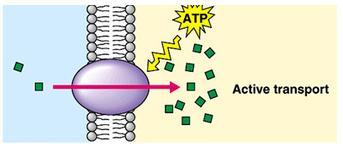 Print Transport Across the Plasma Membrane flashcards | Easy Notecards