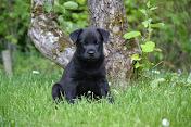 "Sabletail's Black Patrik ""Papi"""