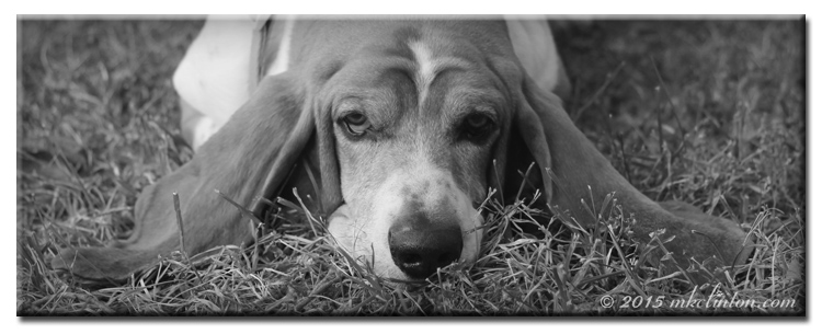 Basset Hound with ears outstretched