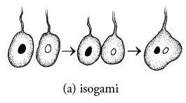 isogami