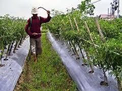 Membuat insektisida alami ramah lingkungan