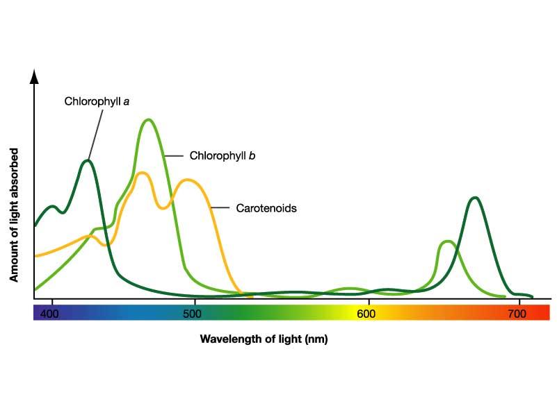 Ap biology blog mark ingram p7 investigation 5 photosynthesis absorption rates of chlorophyll and carotenoids ccuart Choice Image