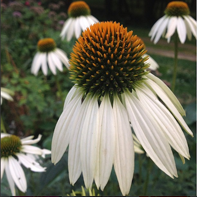 The Impatient Gardener 2-minute garden tour --Echinacea