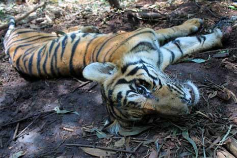 harimau sumatera hampir punah