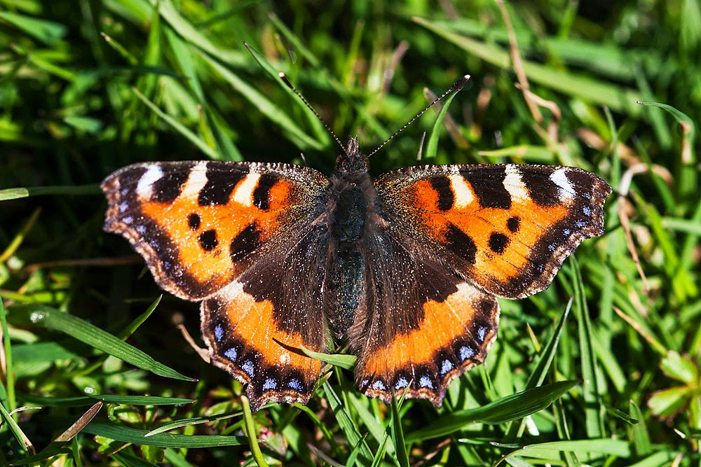Small Tortoiseshell - Loughton Valley Park, Milton Keynes (2014)