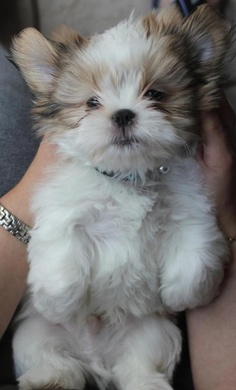 See more How much does a Shih Tzu Puppy Cost?
