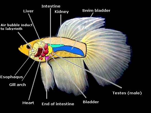 Anatomy of a betta fish