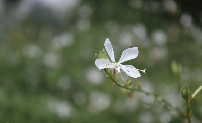 Gaura Flowers