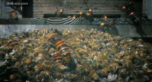 pertempuran 30 lebah raksasa Jepang melawan 30.000 lebah madu Eropa