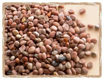 radish-seeds-3245