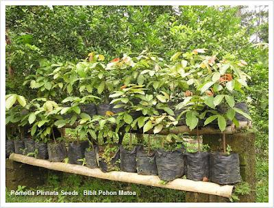 bibit-pohon-matoa