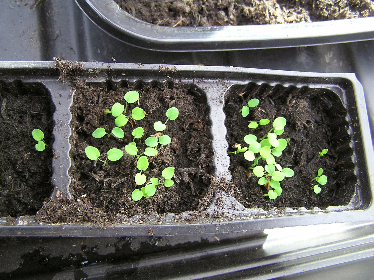 how to grow thalictrum from seeds