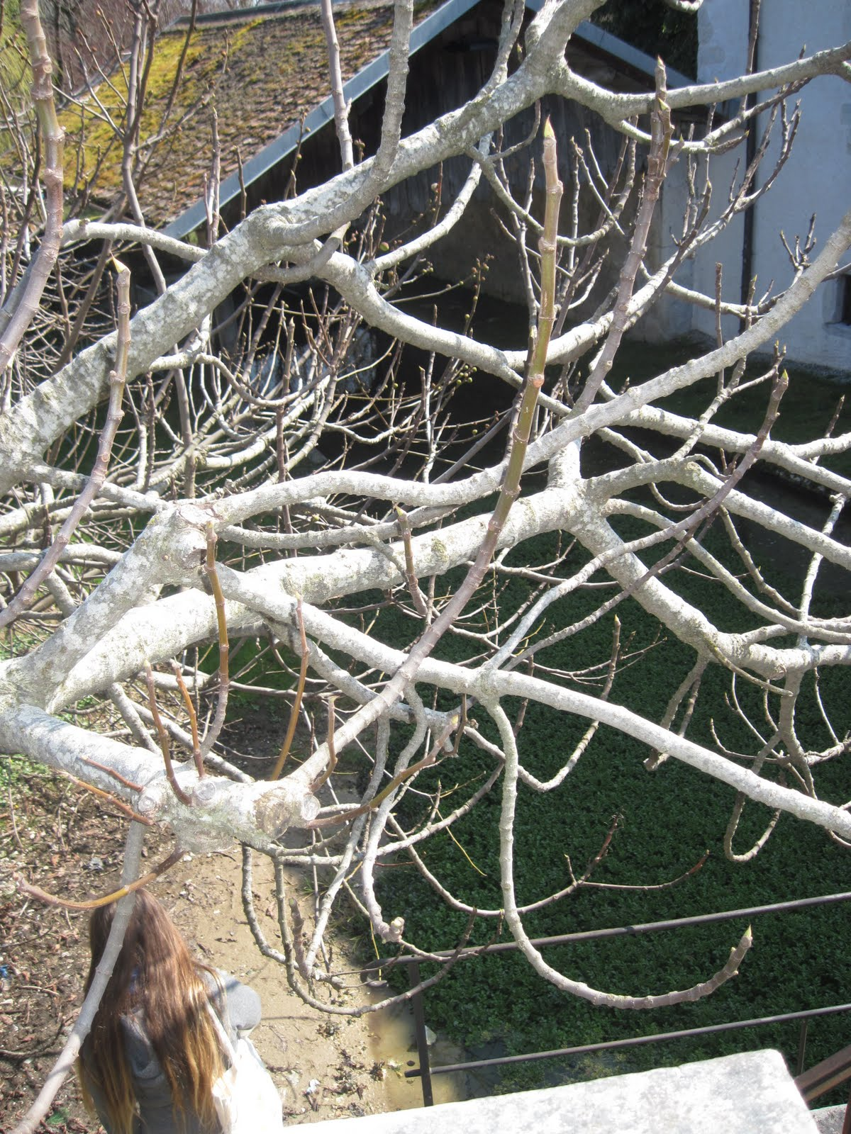 Fig Tree Pruning http://outlawnotahero.blogspot.com/2011/03/tutorial-trebek-propagating-fig-trees.html