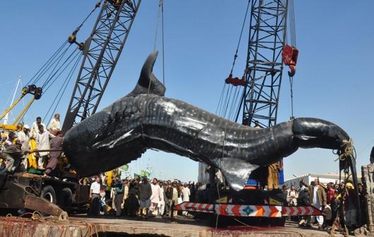 Avec ses 7 tonnes et 12 mètres de long, le requin-baleine remonté